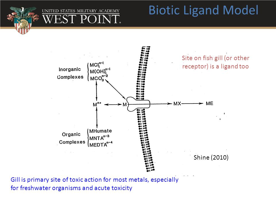 Biotic Ligand Model Site on fish gill (or other receptor) is a ligand too Gill is primary site of toxic action for most metals, especially for freshwa