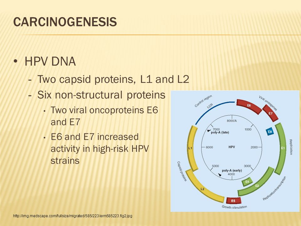 CARCINOGENESIS HPV DNA - Two capsid proteins, L1 and L2 http://img.medscape.com/fullsize/migrated/585/223/erm585223.fig2.jpg - Six non-structural proteins Two viral oncoproteins E6 and E7 E6 and E7 increased activity in high-risk HPV strains
