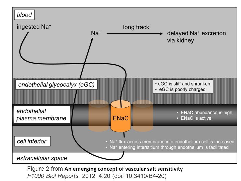 Figure 2 from An emerging concept of vascular salt sensitivity F1000 Biol Reports.