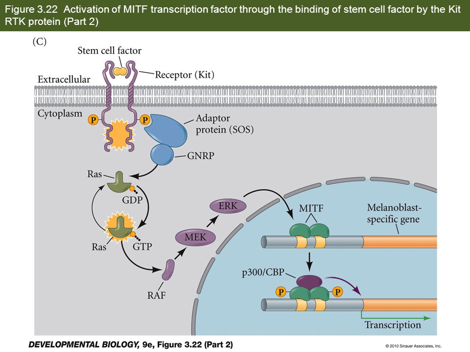 Figure 3.22 Activation of MITF transcription factor through the binding of stem cell factor by the Kit RTK protein (Part 2)