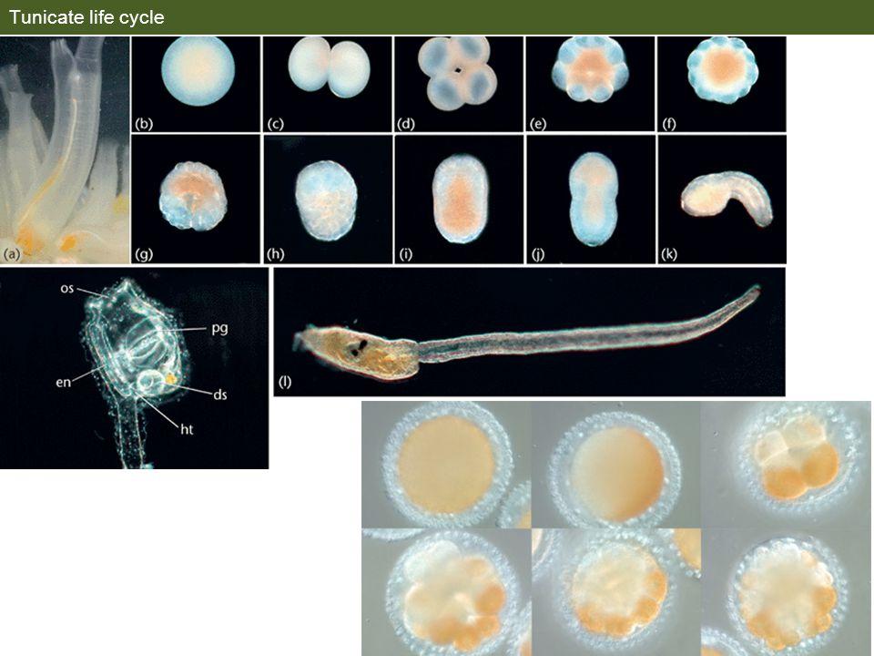 Tunicate life cycle