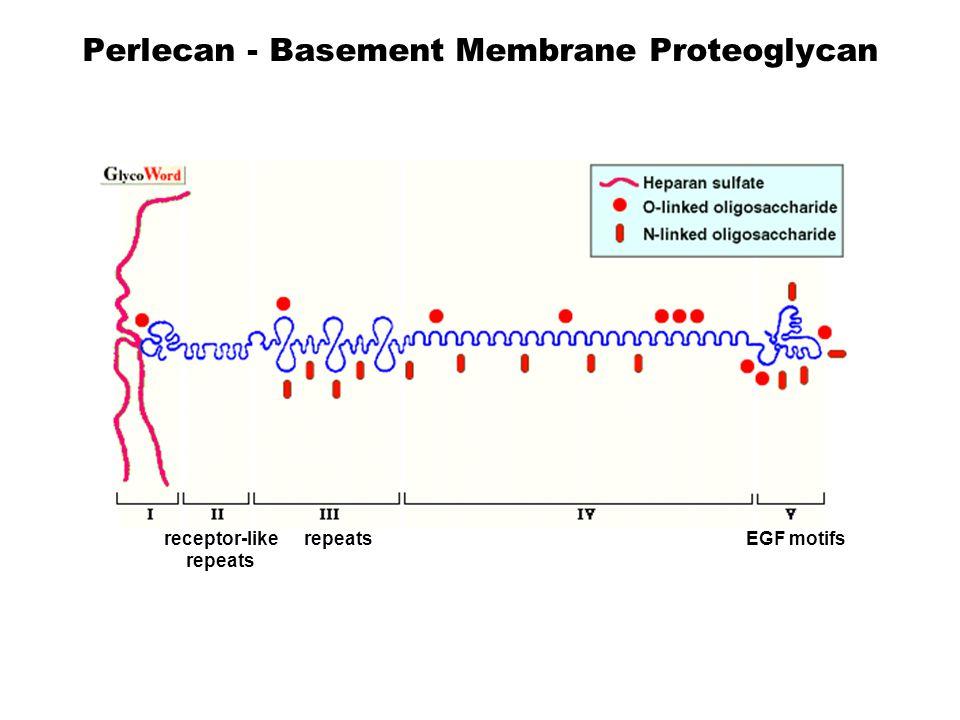 Perlecan - Basement Membrane Proteoglycan LDL receptor-like repeats Laminin repeats Ig-like repeats Laminin & EGF motifs 467 KDa