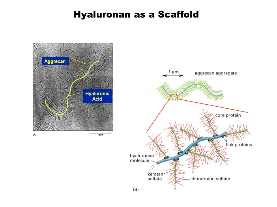 Hyaluronan as a Scaffold Hyaluronic Acid Aggrecan