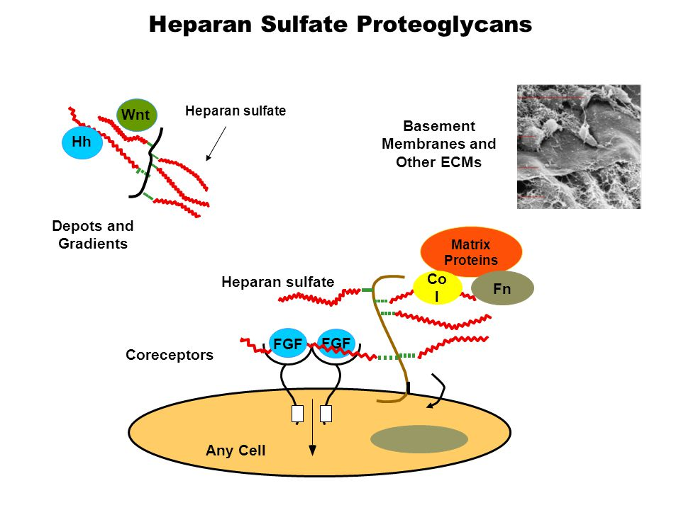 FGF Heparan sulfate FGF Any Cell Coreceptors Heparan sulfate Depots and Gradients Hh Wnt Basement Membranes and Other ECMs Matrix Proteins Co l Fn Heparan Sulfate Proteoglycans