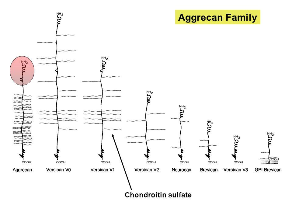 Aggrecan Family Chondroitin sulfate