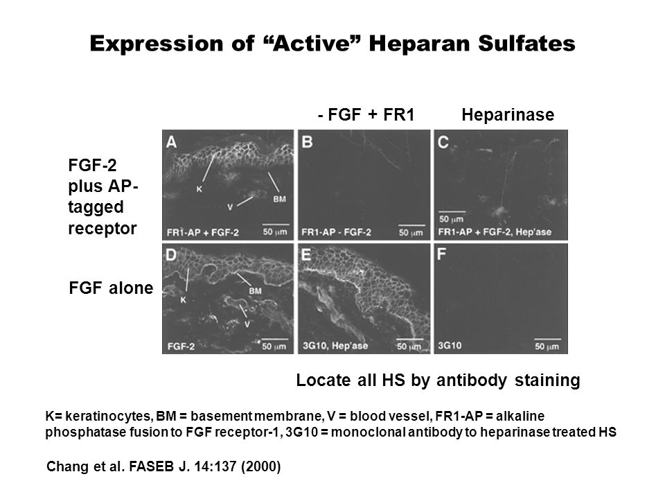 """Expression of """"Active"""" Heparan Sulfates FGF alone FGF-2 plus AP- tagged receptor - FGF + FR1Heparinase Locate all HS by antibody staining K= keratinoc"""