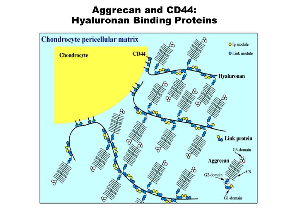 Aggrecan and CD44: Hyaluronan Binding Proteins