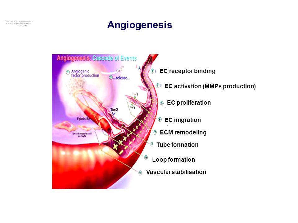 EC receptor binding EC activation (MMPs production) EC proliferation EC migration ECM remodeling Tube formation Loop formation Vascular stabilisation