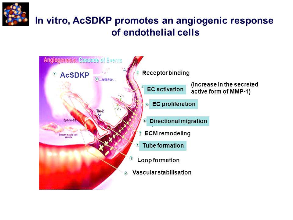 In vitro, AcSDKP promotes an angiogenic response of endothelial cells AcSDKP Receptor binding EC activation EC proliferation Directional migration ECM