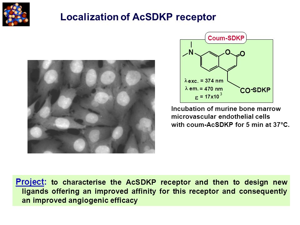 exc. = 374 nm em. = 470 nm = 17x10 3  O O N CO - Coum-SDKP SDKP Localization of AcSDKP receptor Project: to characterise the AcSDKP receptor and then