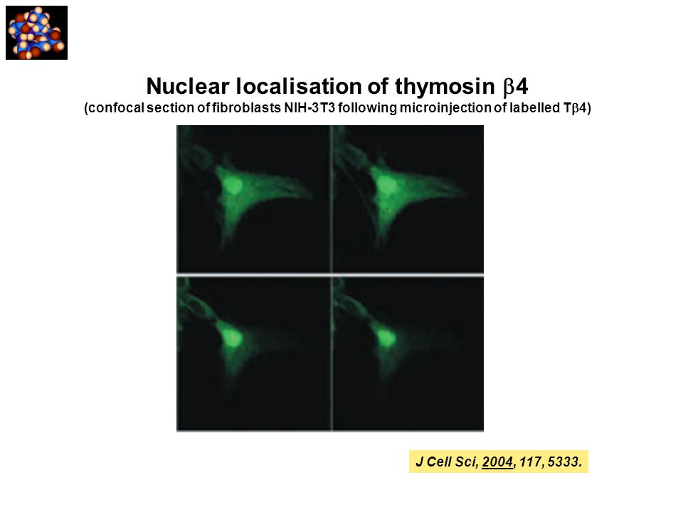 Nuclear localisation of thymosin  4 (confocal section of fibroblasts NIH-3T3 following microinjection of labelled T  4) J Cell Sci, 2004, 117, 5333.