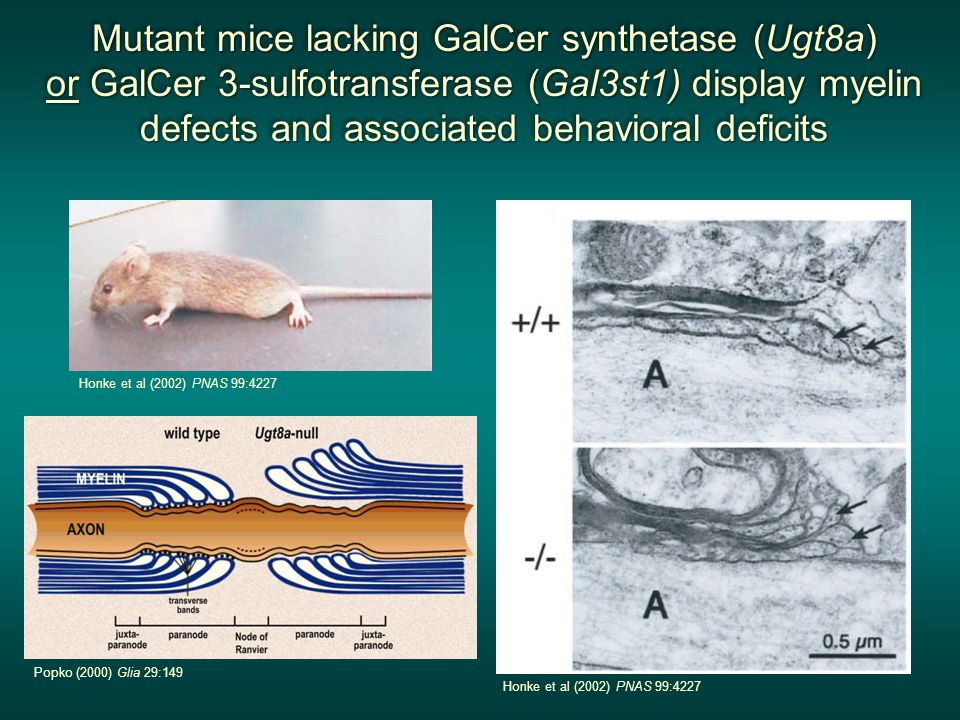 Mutant mice lacking GalCer synthetase (Ugt8a) or GalCer 3-sulfotransferase (Gal3st1) display myelin defects and associated behavioral deficits Mutant mice lacking GalCer synthetase (Ugt8a) or GalCer 3-sulfotransferase (Gal3st1) display myelin defects and associated behavioral deficits Mutant mice lacking GalCer synthetase (Ugt8a) or GalCer 3-sulfotransferase (Gal3st1) display myelin defects and associated behavioral deficits Mutant mice lacking GalCer synthetase (Ugt8a) or GalCer 3-sulfotransferase (Gal3st1) display myelin defects and associated behavioral deficits Honke et al (2002) PNAS 99:4227 Popko (2000) Glia 29:149