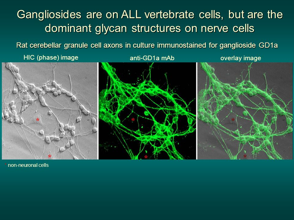 Rat cerebellar granule cell axons in culture immunostained for ganglioside GD1a HIC (phase) image overlay imageanti-GD1a mAb Gangliosides are on ALL vertebrate cells, but are the dominant glycan structures on nerve cells * non-neuronal cells