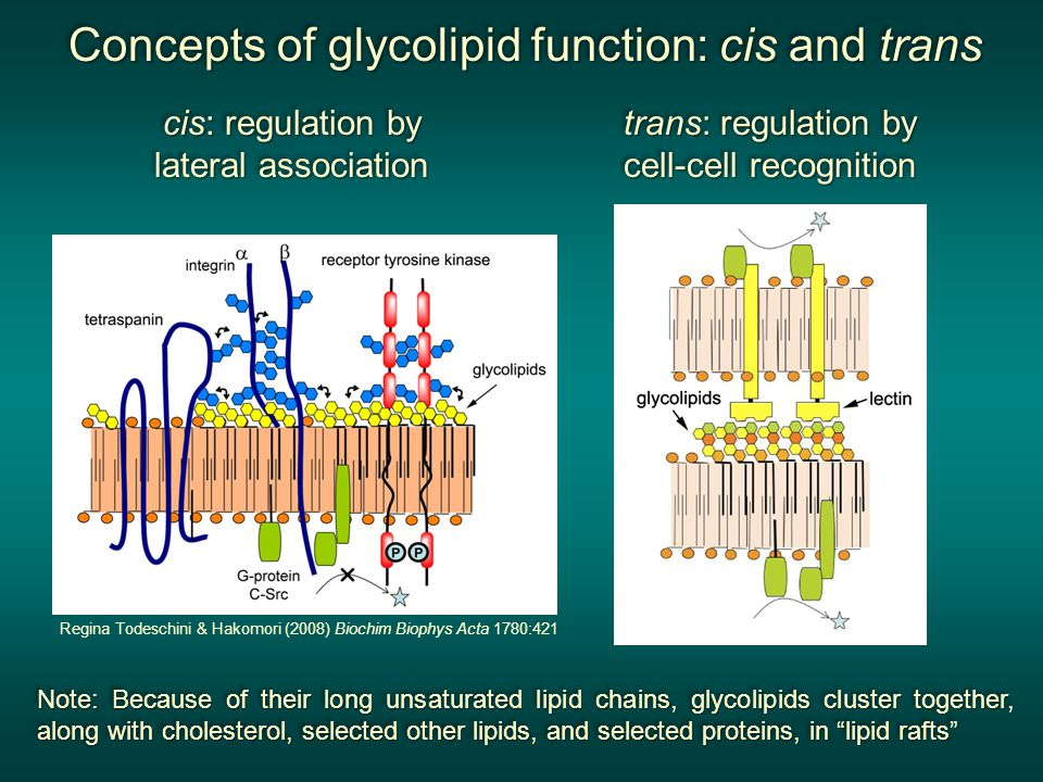 Concepts of glycolipid function: cis and trans Concepts of glycolipid function: cis and trans Concepts of glycolipid function: cis and trans Concepts of glycolipid function: cis and trans cis: regulation by lateral association cis: regulation by lateral association cis: regulation by lateral association cis: regulation by lateral association trans: regulation by cell-cell recognition trans: regulation by cell-cell recognition trans: regulation by cell-cell recognition trans: regulation by cell-cell recognition Note: Because of their long unsaturated lipid chains, glycolipids cluster together, along with cholesterol, selected other lipids, and selected proteins, in lipid rafts Note: Because of their long unsaturated lipid chains, glycolipids cluster together, along with cholesterol, selected other lipids, and selected proteins, in lipid rafts Note: Because of their long unsaturated lipid chains, glycolipids cluster together, along with cholesterol, selected other lipids, and selected proteins, in lipid rafts Note: Because of their long unsaturated lipid chains, glycolipids cluster together, along with cholesterol, selected other lipids, and selected proteins, in lipid rafts Regina Todeschini & Hakomori (2008) Biochim Biophys Acta 1780:421