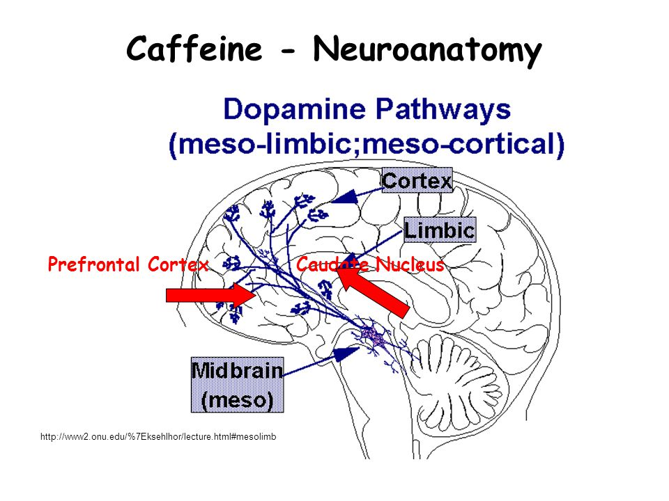 Caffeine - Neuroanatomy Prefrontal Cortex Caudate Nucleus http://www2.onu.edu/%7Eksehlhor/lecture.html#mesolimb