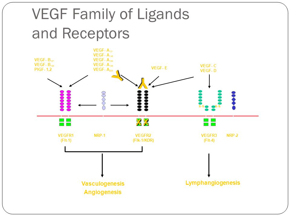 s-s VEGF- B 167 VEGF- B 186 PlGF- 1,2 VEGF- A 121 VEGF- A 145 VEGF- A 165 VEGF- A 189 VEGF- A 206 VEGF- E VEGF- C VEGF- D VEGFR1 (Flt-1) VEGFR2 (Flk-1/KDR) VEGFR3 (Flt-4) NRP-1 s-s NRP-2 Vasculogenesis Angiogenesis Lymphangiogenesis Y Y XX VEGF Family of Ligands and Receptors