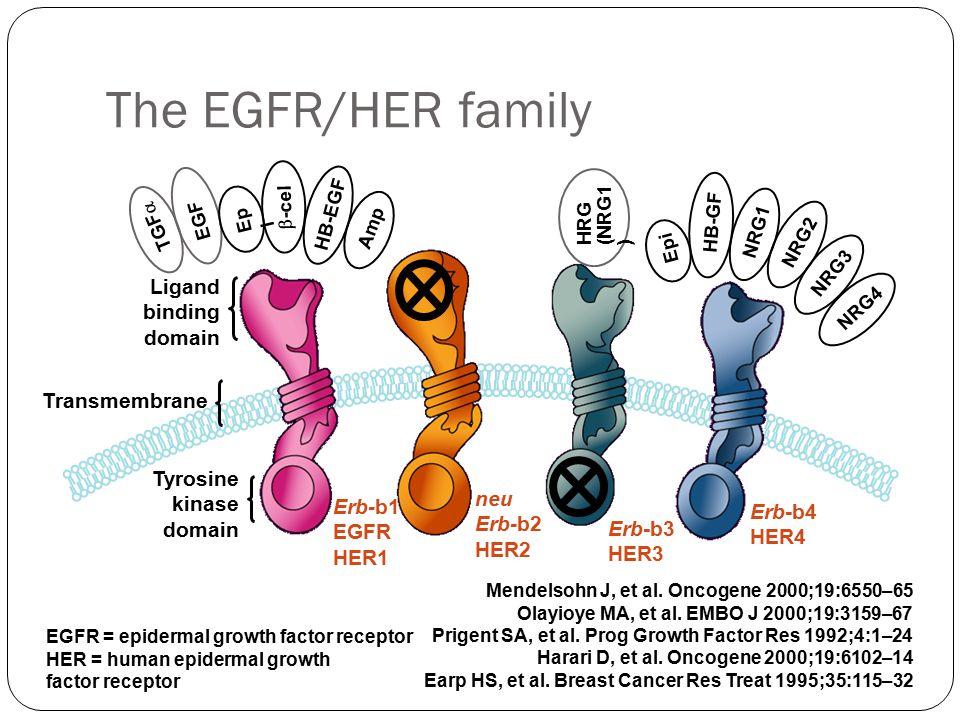 Erb-b1 EGFR HER1 neu Erb-b2 HER2 Erb-b3 HER3 Erb-b4 HER4 TGF  EGF Ep i  -cel Amp Epi HB-GF NRG1 NRG2 NRG3 NRG4 Tyrosine kinase domain Ligand binding domain Transmembrane Mendelsohn J, et al.