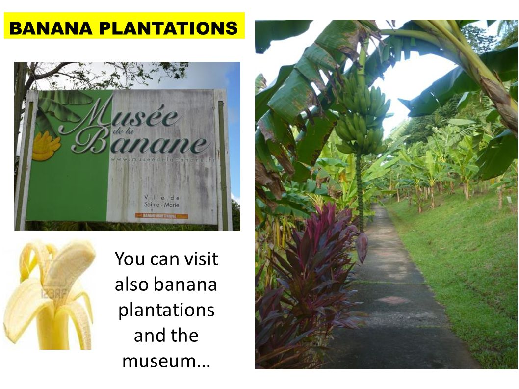 You can visit also banana plantations and the museum… BANANA PLANTATION S