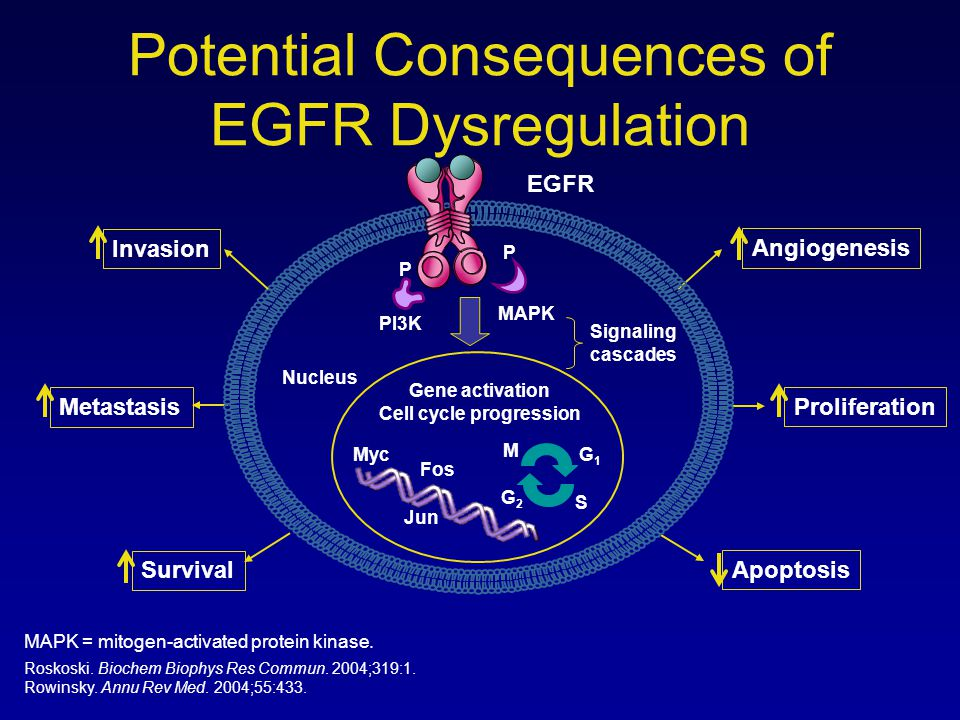 Potential Consequences of EGFR Dysregulation Signaling cascades EGFR PI3K MAPK Nucleus Gene activation Cell cycle progression M G1G1 S G2G2 Myc Fos Ju