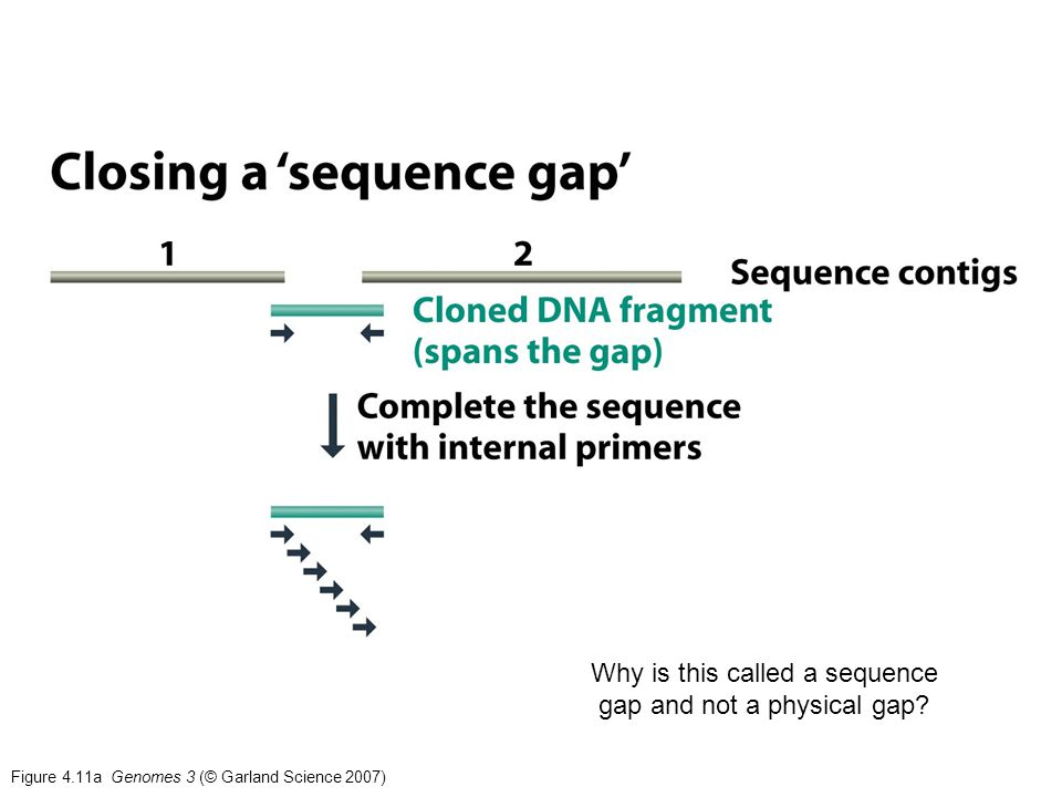 Figure 4.11a Genomes 3 (© Garland Science 2007) Why is this called a sequence gap and not a physical gap?
