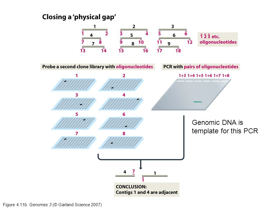 Figure 4.11b Genomes 3 (© Garland Science 2007) Genomic DNA is template for this PCR