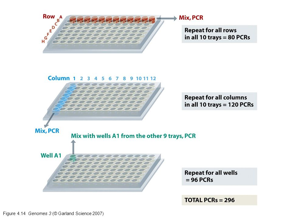 Figure 4.14 Genomes 3 (© Garland Science 2007)