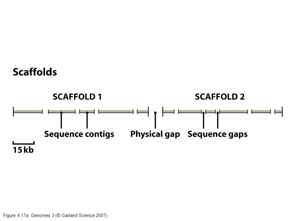 Figure 4.17a Genomes 3 (© Garland Science 2007)