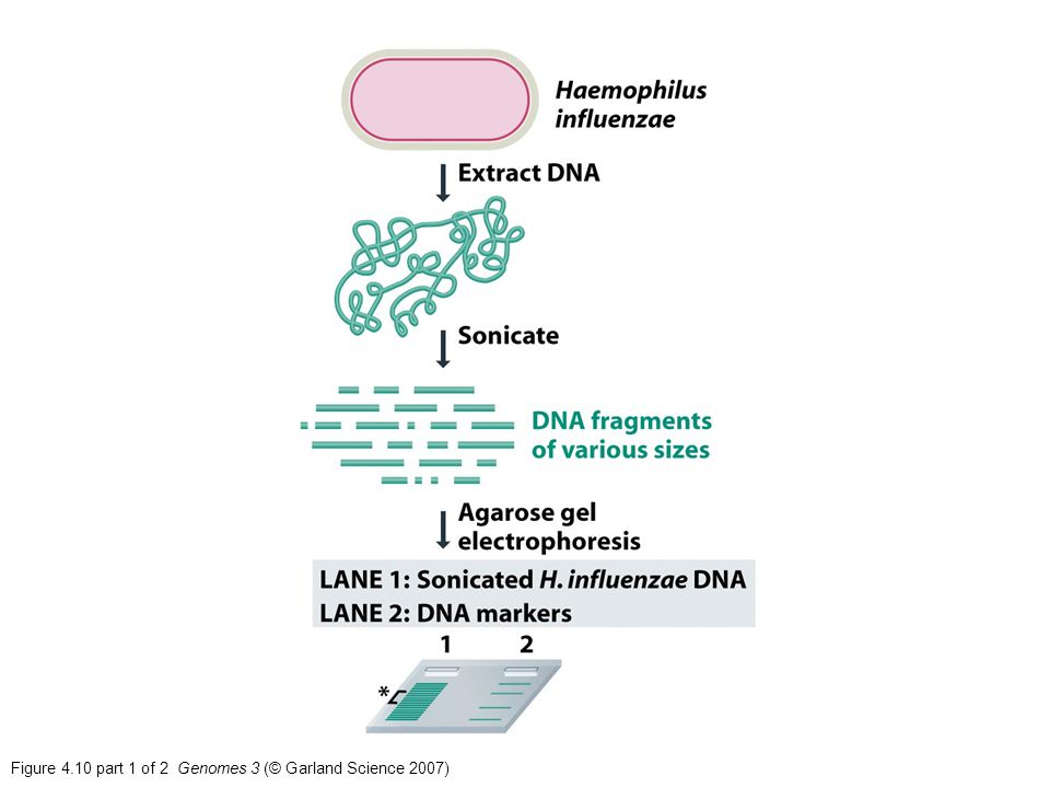 Figure 4.10 part 1 of 2 Genomes 3 (© Garland Science 2007)