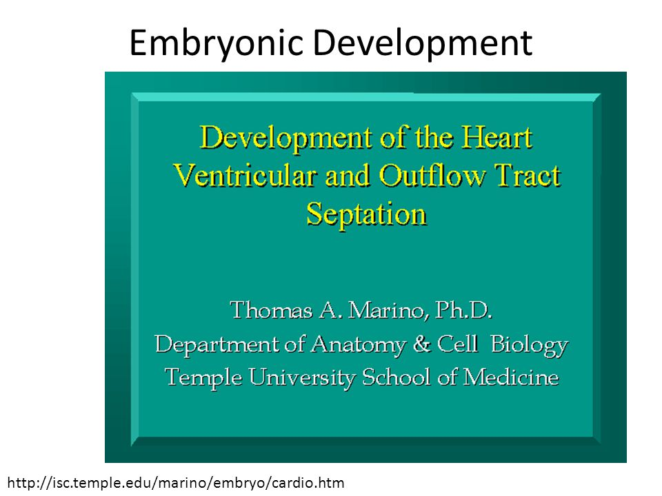 Embryonic Development http://isc.temple.edu/marino/embryo/cardio.htm