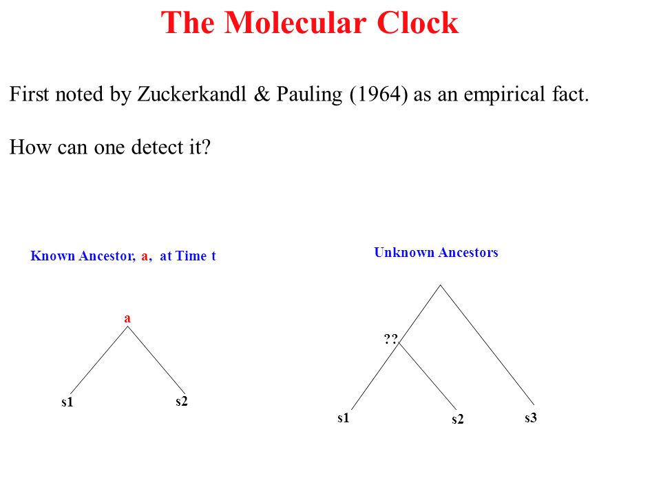 The Molecular Clock First noted by Zuckerkandl & Pauling (1964) as an empirical fact. How can one detect it? Known Ancestor, a, at Time t s1 s2 a Unkn
