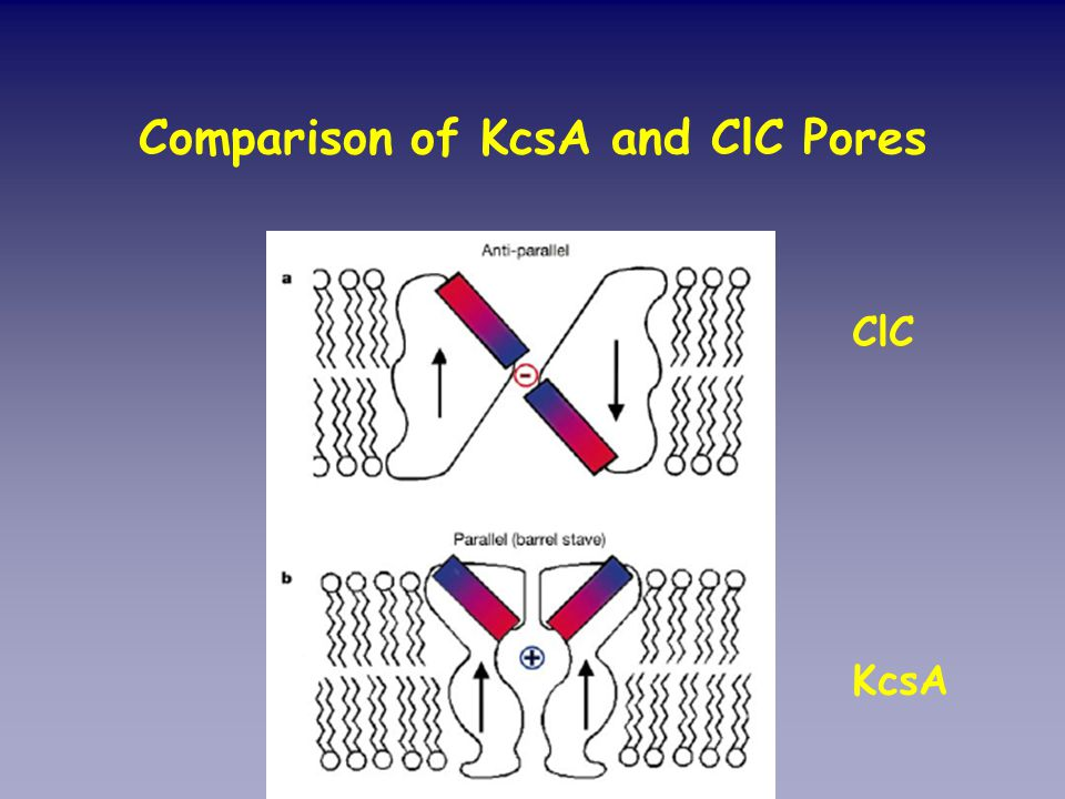 Comparison of KcsA and ClC Pores ClC KcsA