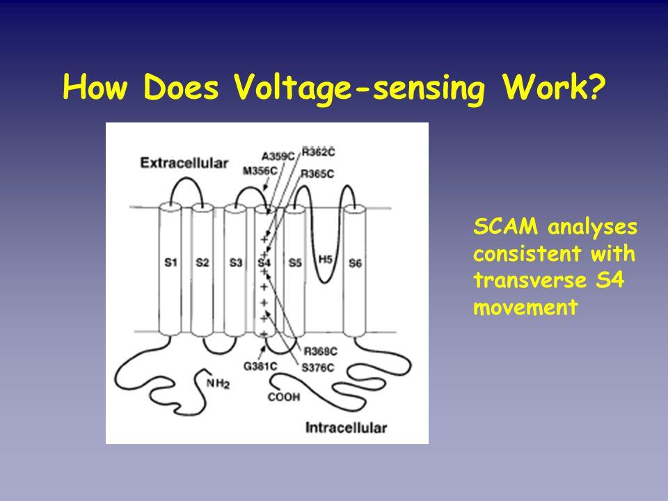 How Does Voltage-sensing Work? SCAM analyses consistent with transverse S4 movement