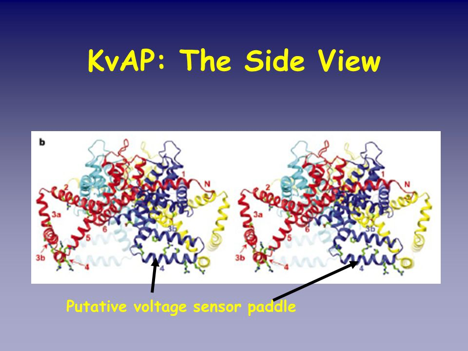 KvAP: The Side View Putative voltage sensor paddle