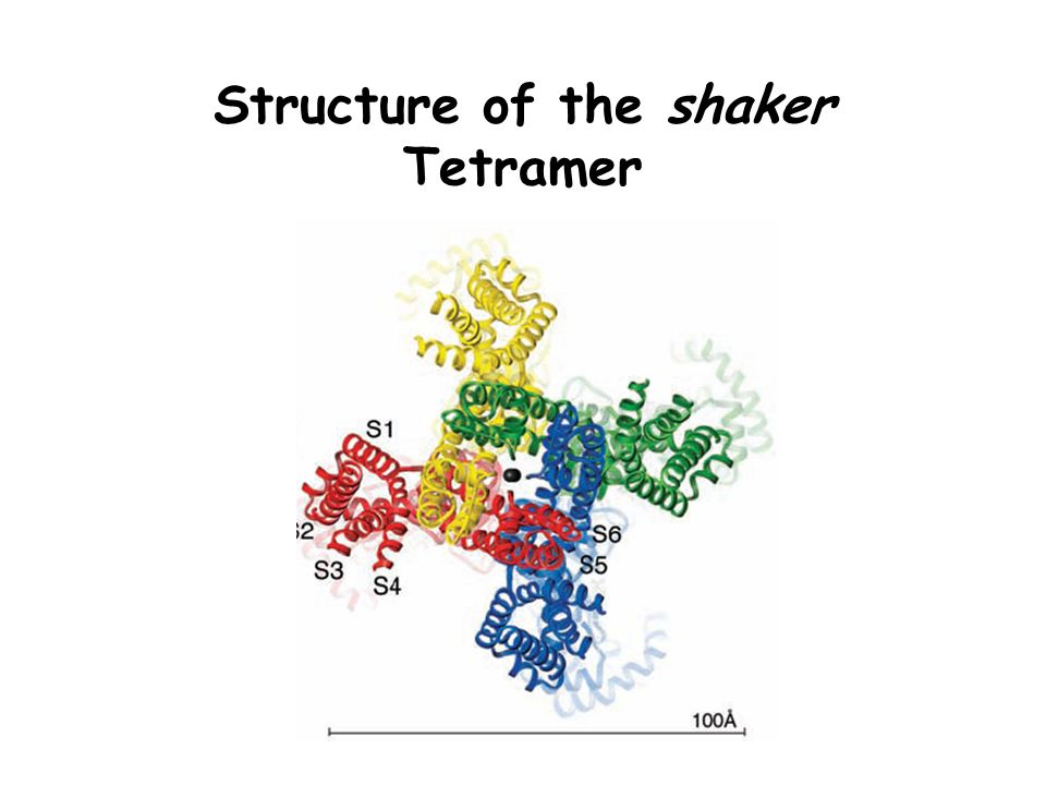 Structure of the shaker Tetramer