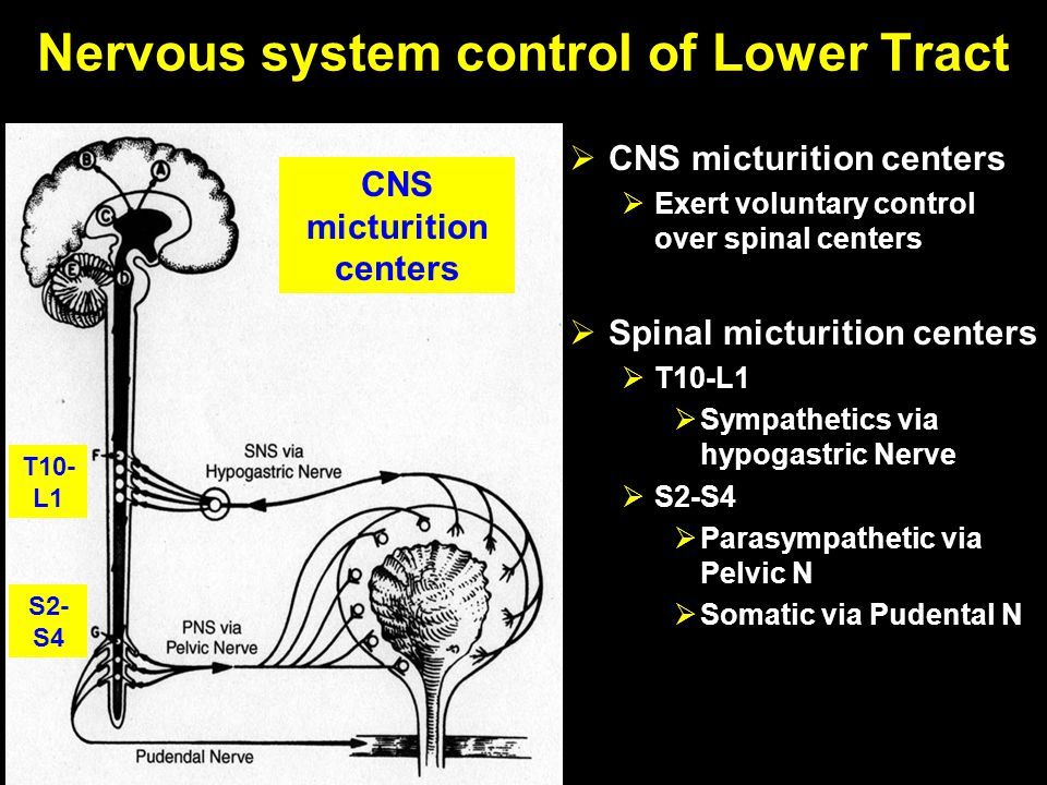 Nervous system control of Lower Tract  CNS micturition centers  Exert voluntary control over spinal centers  Spinal micturition centers  T10-L1 