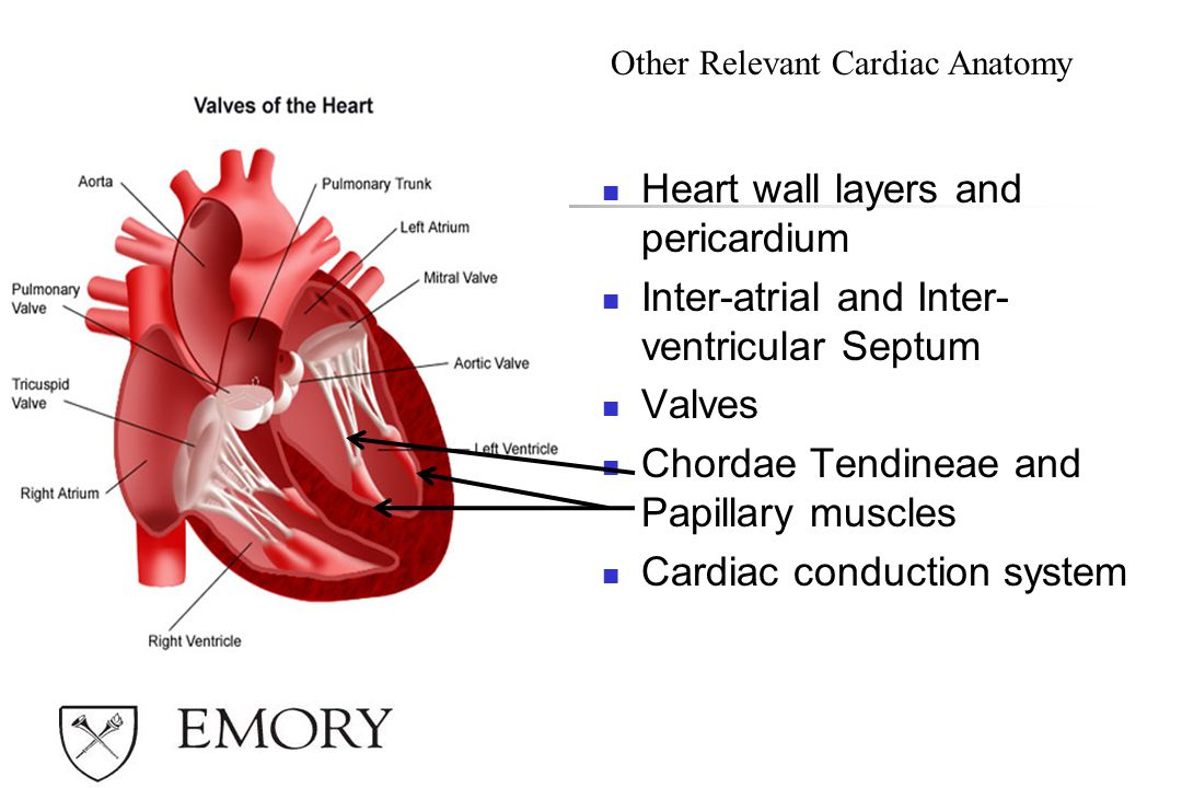 Heart wall layers and pericardium Inter-atrial and Inter- ventricular Septum Valves Chordae Tendineae and Papillary muscles Cardiac conduction system Other Relevant Cardiac Anatomy