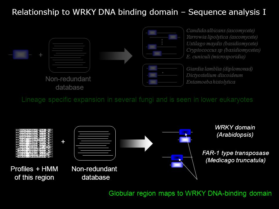 Relationship to WRKY DNA binding domain – Sequence analysis I Non-redundant database +....