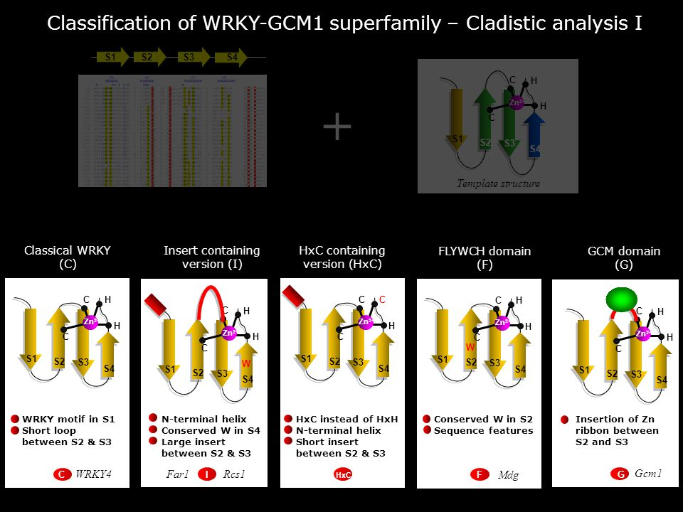 Classification of WRKY-GCM1 superfamily – Cladistic analysis I S1S2S3S4 S1 S2 S3 S4 C C H H Zn 2+ Template structure + S1 S2 S3 S4 C C H H Zn 2+ Classical WRKY (C) WRKY motif in S1 Short loop between S2 & S3 S1 S2 S3 S4 C H H Zn 2+ N-terminal helix Conserved W in S4 Large insert between S2 & S3 Insert containing version (I) W C S1 S2 S3 S4 C C H C Zn 2+ HxC containing version (HxC) HxC instead of HxH N-terminal helix Short insert between S2 & S3 S1 S2 S3 S4 C C H H Zn 2+ FLYWCH domain (F) Conserved W in S2 Sequence features W S1 S2 S3 S4 C H H Zn 2+ Insertion of Zn ribbon between S2 and S3 GCM domain (G) C GC HxC IF WRKY4Rcs1 Far1 Mdg Gcm1
