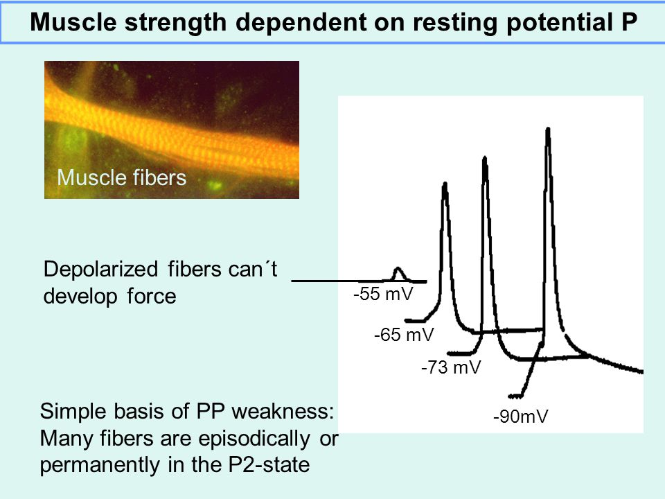 Muscle strength dependent on resting potential P Muscle fibers -90mV -73 mV -65 mV -55 mV Depolarized fibers can´t develop force Simple basis of PP weakness: Many fibers are episodically or permanently in the P2-state
