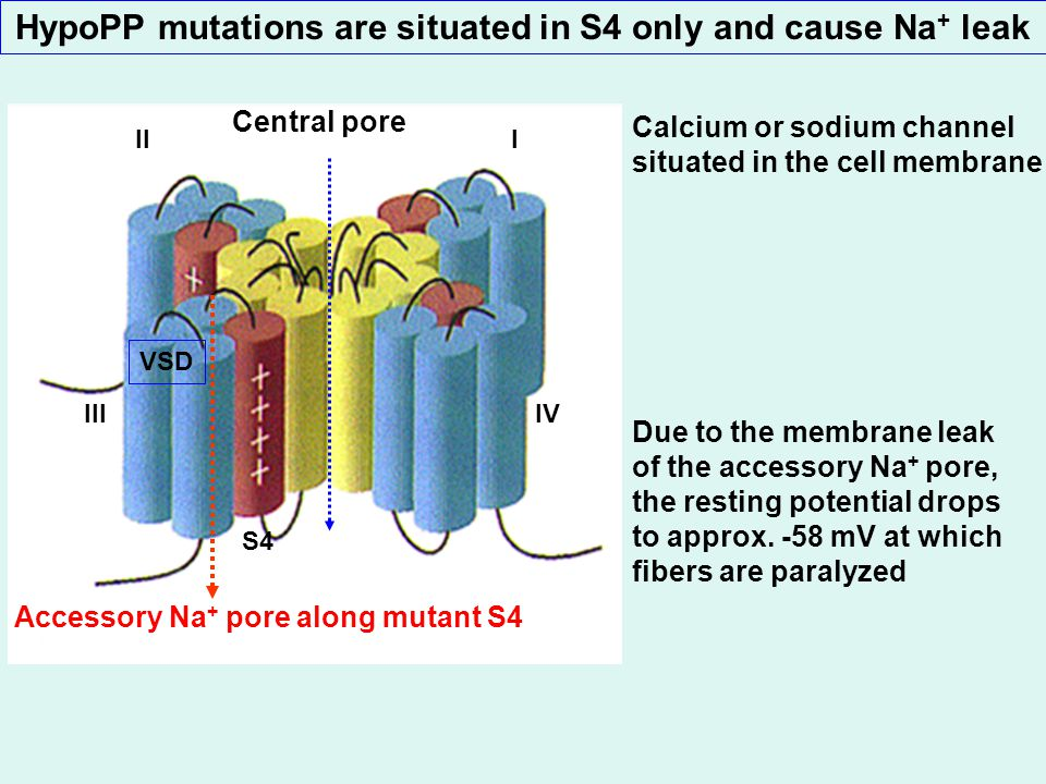 HypoPP mutations are situated in S4 only and cause Na + leak Due to the membrane leak of the accessory Na + pore, the resting potential drops to approx.