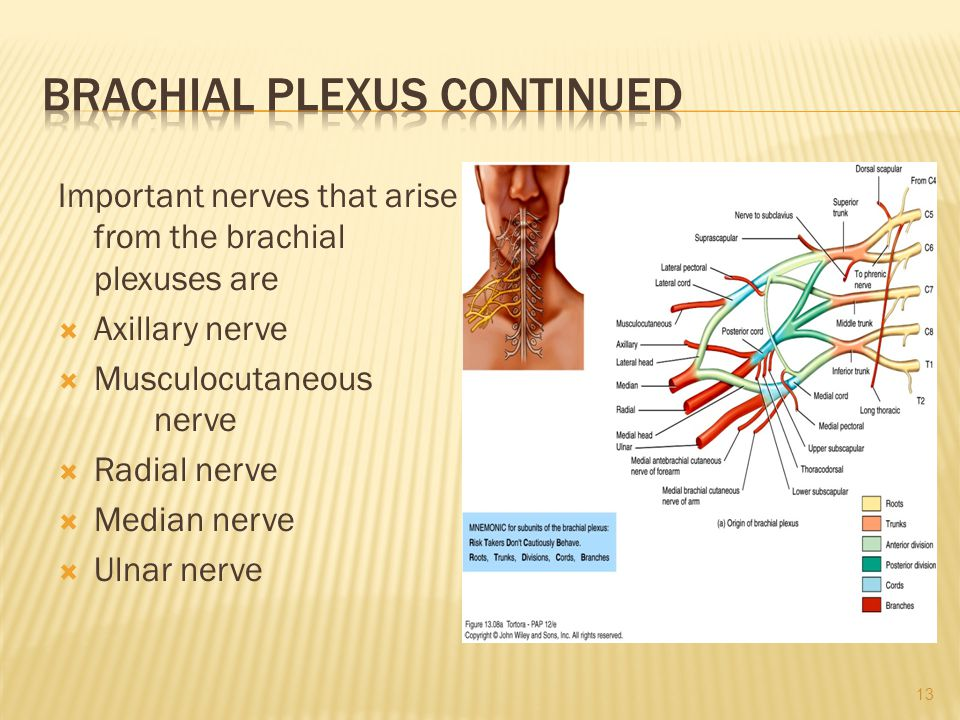 Important nerves that arise from the brachial plexuses are  Axillary nerve  Musculocutaneous nerve  Radial nerve  Median nerve  Ulnar nerve 13