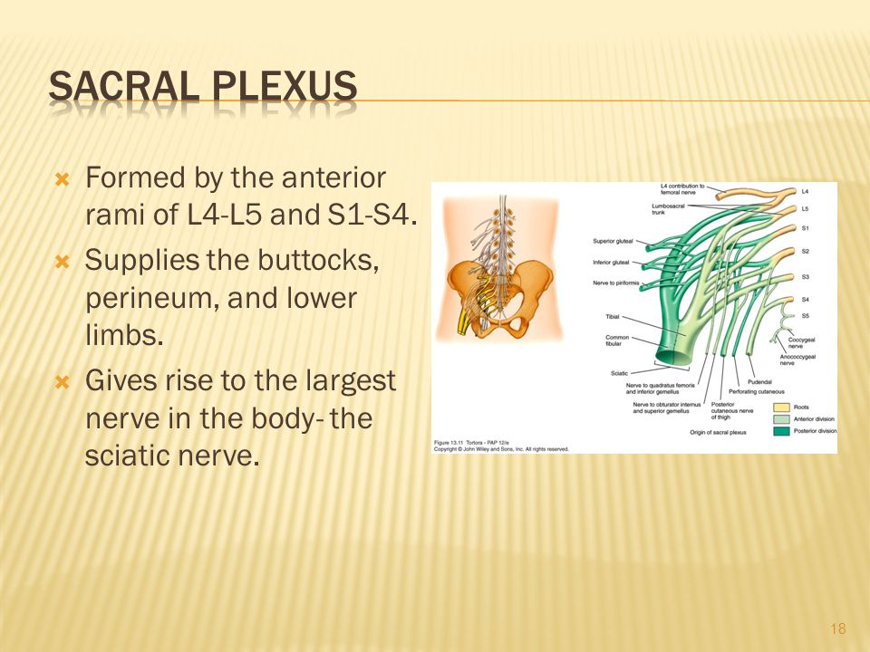  Formed by the anterior rami of L4-L5 and S1-S4.