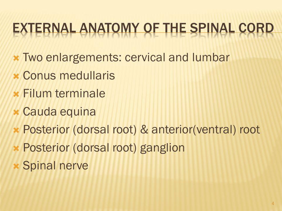  Two enlargements: cervical and lumbar  Conus medullaris  Filum terminale  Cauda equina  Posterior (dorsal root) & anterior(ventral) root  Posterior (dorsal root) ganglion  Spinal nerve 4