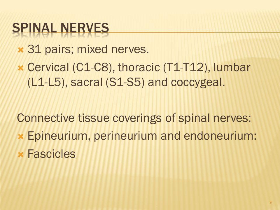  31 pairs; mixed nerves.