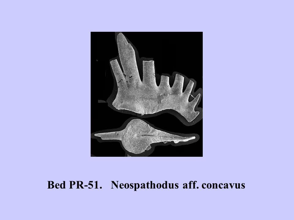 Bed PR-51. Neospathodus aff. concavus