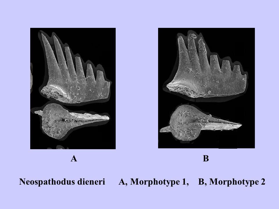 aaaa a aa a aa A B Neospathodus dieneri A, Morphotype 1, B, Morphotype 2