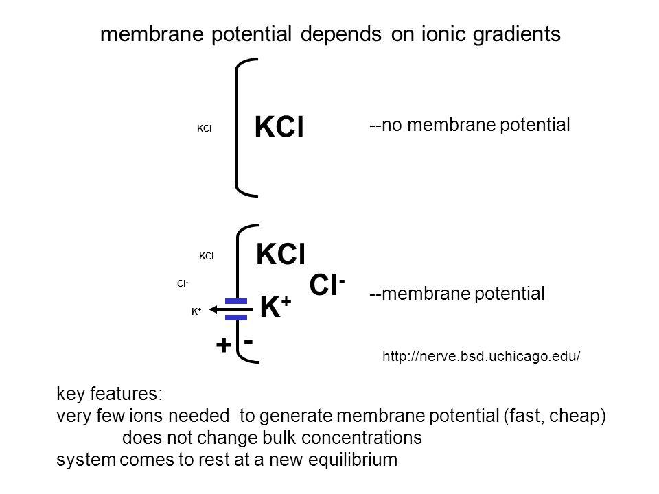  G conc +  G volt = 0  G conc = -RT ln C o /C i  G volt = zFV where z= valence of ion zFV – RT ln C o /C i = 0 V = RT ln C o /C i = 2.3 RT log 10 C o /C i zF zF since 2.3 RT/F ~60 mV, V = (60 mV/z) log 10 (C o /C i ) no net flux of K + : influx = efflux membrane potential is equal and opposite to the concentration gradient at equilibrium KCl K+K+ K+K+ Cl - - +