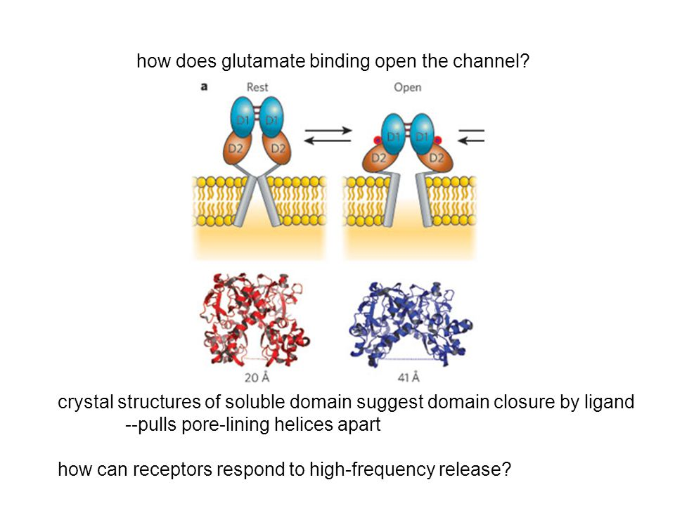 how does glutamate binding open the channel? crystal structures of soluble domain suggest domain closure by ligand --pulls pore-lining helices apart h