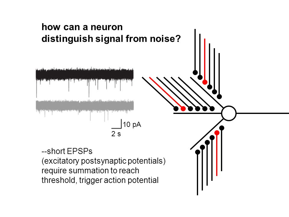 how can a neuron distinguish signal from noise? --short EPSPs (excitatory postsynaptic potentials) require summation to reach threshold, trigger actio