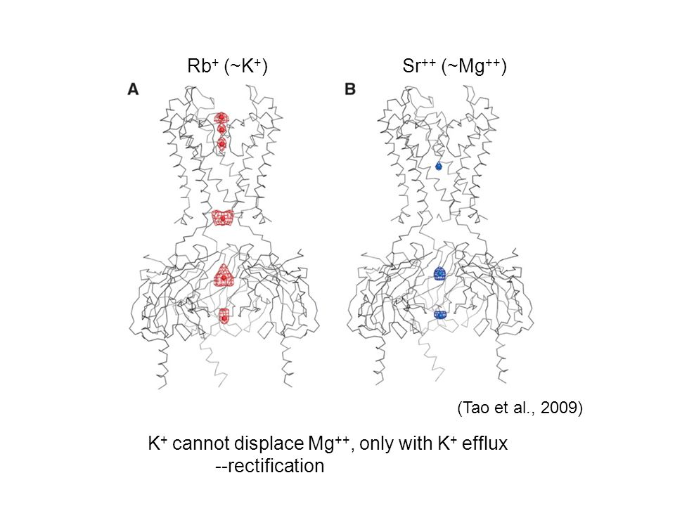 (Tao et al., 2009) Rb + (~K + )Sr ++ (~Mg ++ ) K + cannot displace Mg ++, only with K + efflux --rectification